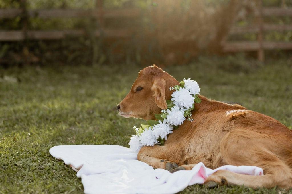 Muñeca ternera en sesión de fotos de bebé vaquera
